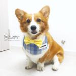Dog Bandana Singapore | Dog School Uniform Bandana | Dog Bandana with Customized Hand-embroidery Name | Dog Accessories「 ii Design Workz 」